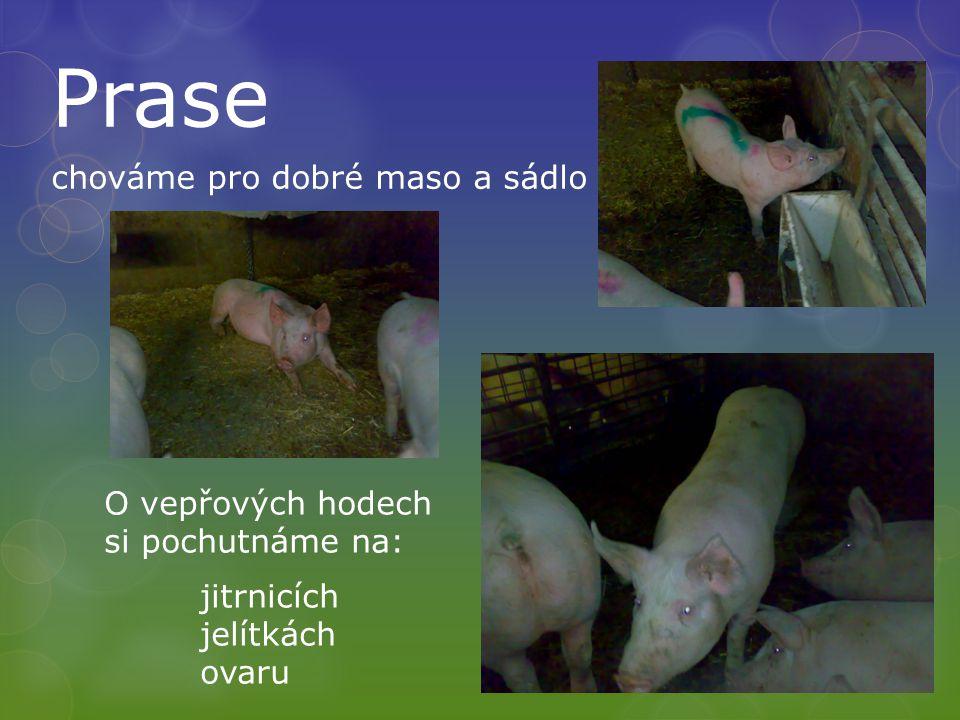 Prase chováme pro dobré maso a sádlo O vepřových hodech si pochutnáme na: jitrnicích jelítkách ovaru