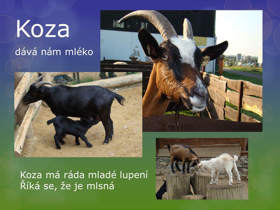 Koza dává nám mléko Koza má ráda mladé lupení Říká se, že je mlsná