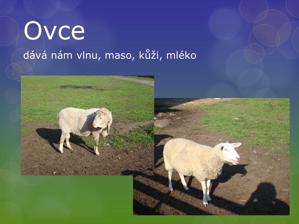Ovce dává nám vlnu, maso, kůži, mléko