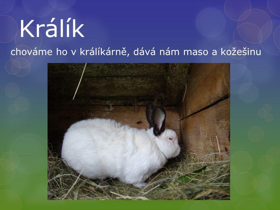 Králík chováme ho v králíkárně, dává nám maso a kožešinu