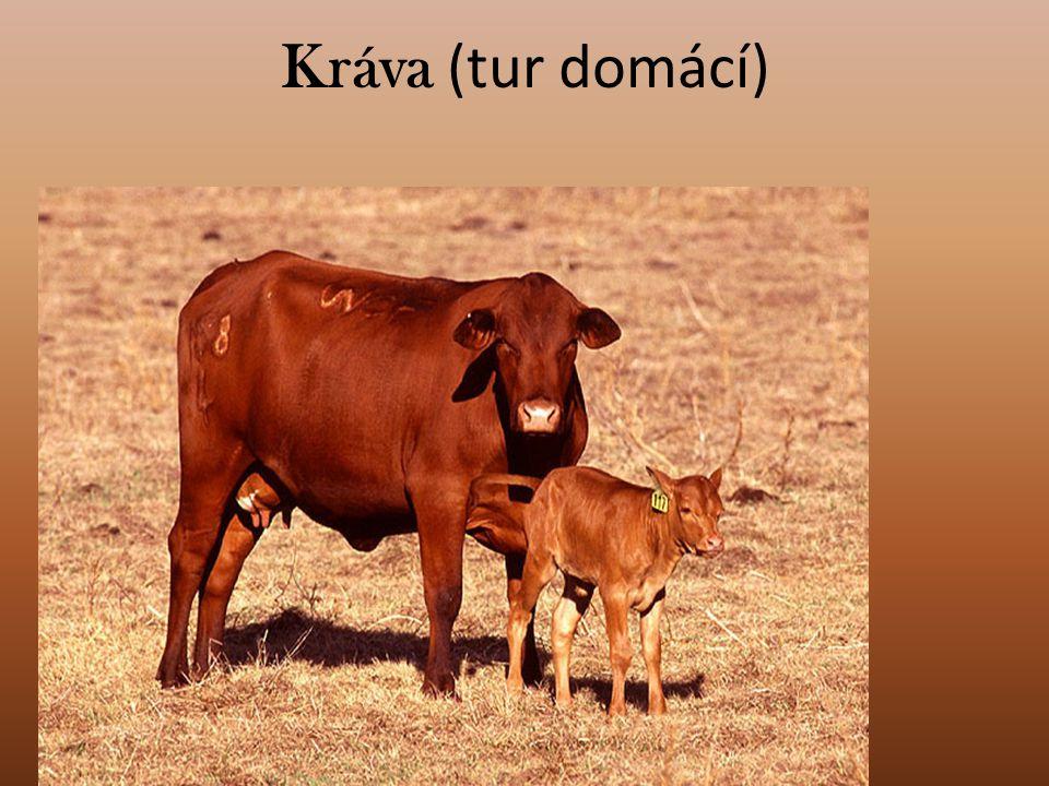 Kráva (tur domácí)