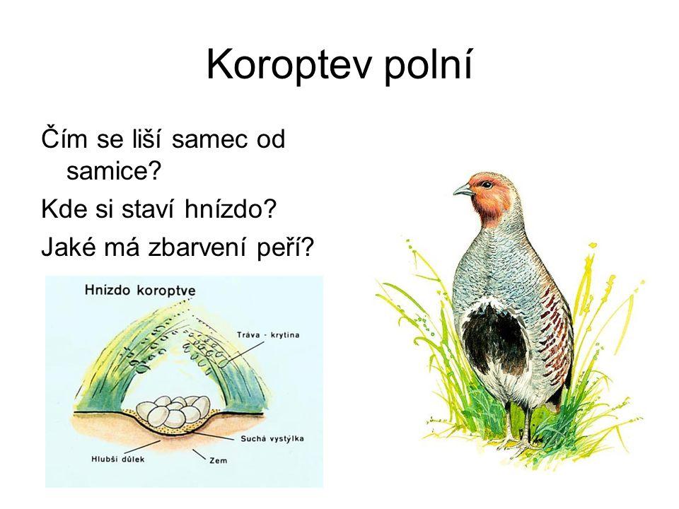 Koroptev polní Čím se liší samec od samice? Kde si staví hnízdo? Jaké má zbarvení peří?