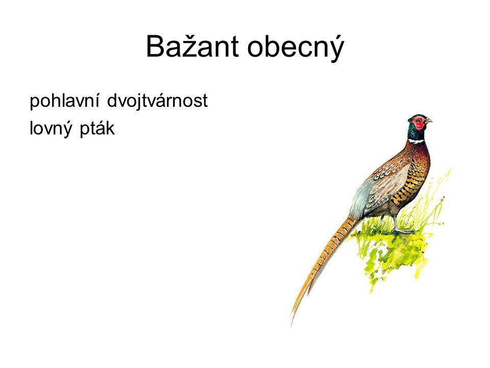 Bažant obecný pohlavní dvojtvárnost lovný pták