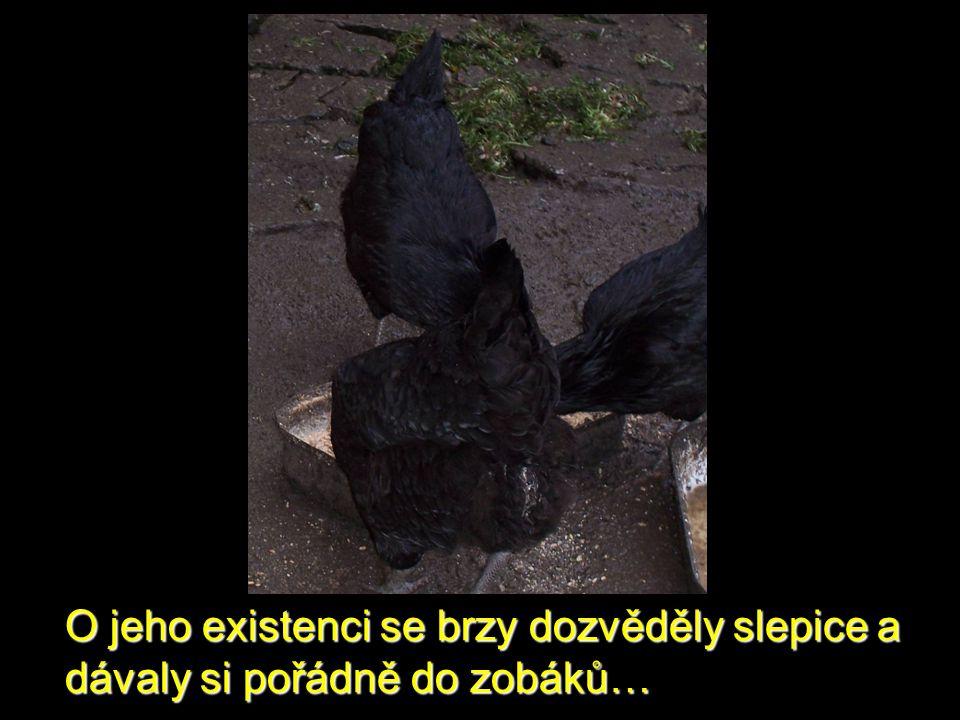 O jeho existenci se brzy dozvěděly slepice a dávaly si pořádně do zobáků…
