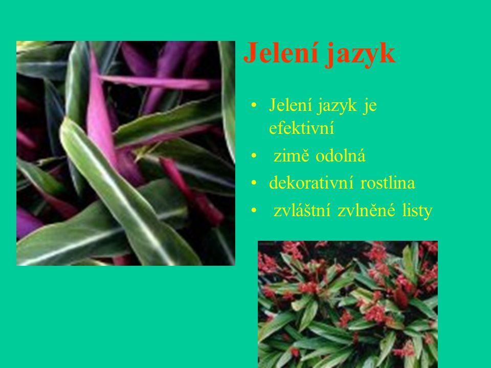 Jelení jazyk je efektivní zimě odolná dekorativní rostlina zvláštní zvlněné listy Jelení jazyk