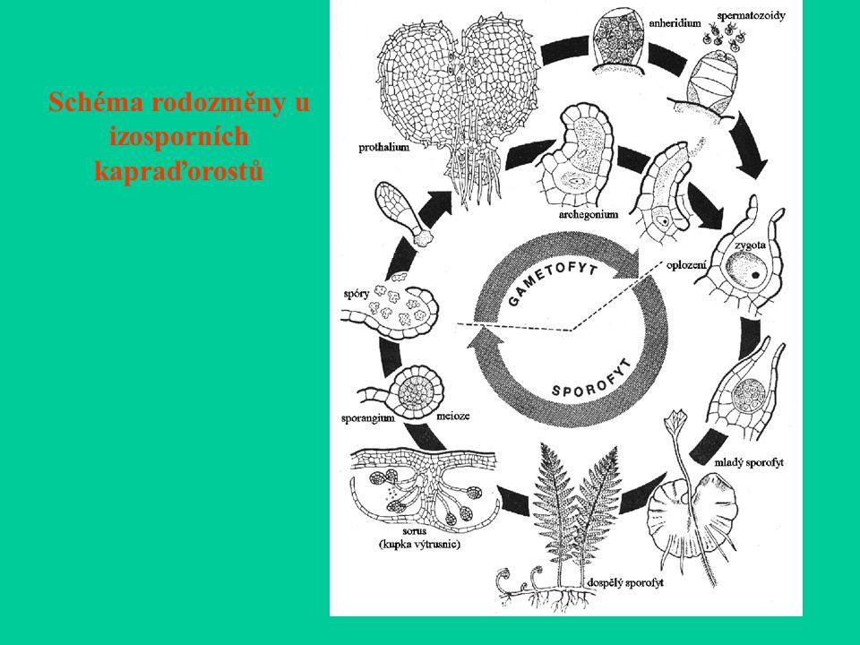 Schéma rodozměny u izosporních kapraďorostů