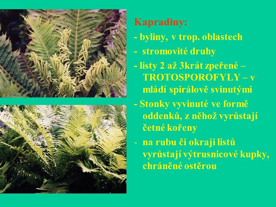 Kapradiny: - byliny, v trop. oblastech - stromovité druhy - listy 2 až 3krát zpeřené – TROTOSPOROFYLY – v mládí spirálově svinutými - Stonky vyvinuté