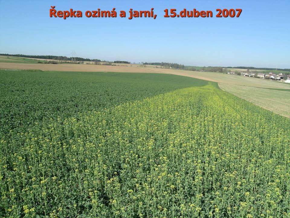 Řepka ozimá a jarní, 15.duben 2007