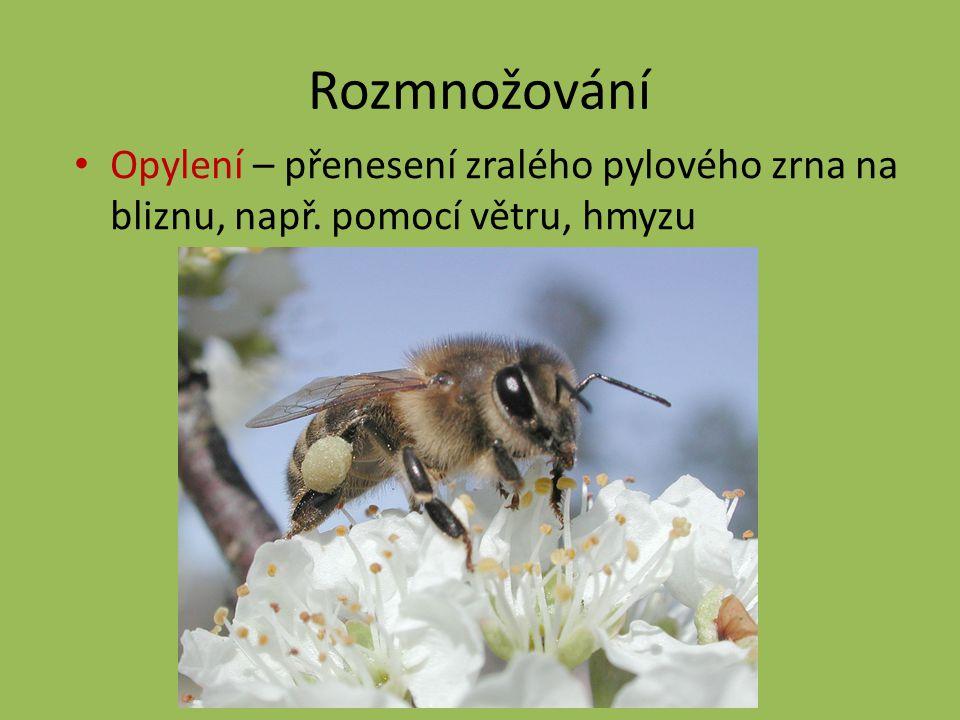 Rozmnožování Opylení – přenesení zralého pylového zrna na bliznu, např. pomocí větru, hmyzu