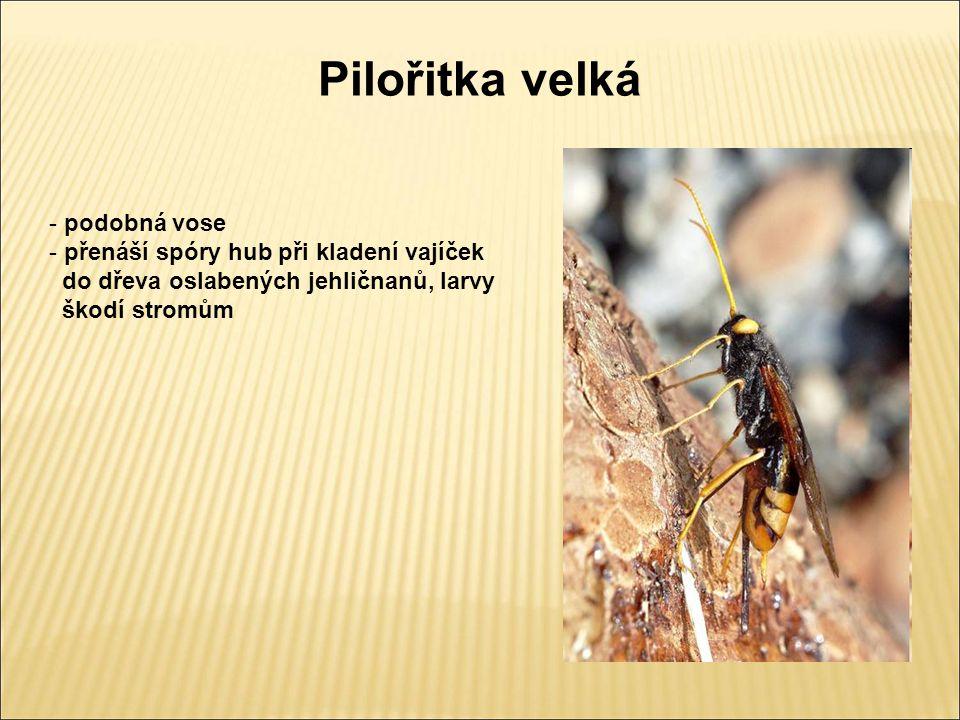 Pilořitka velká - podobná vose - přenáší spóry hub při kladení vajíček do dřeva oslabených jehličnanů, larvy škodí stromům
