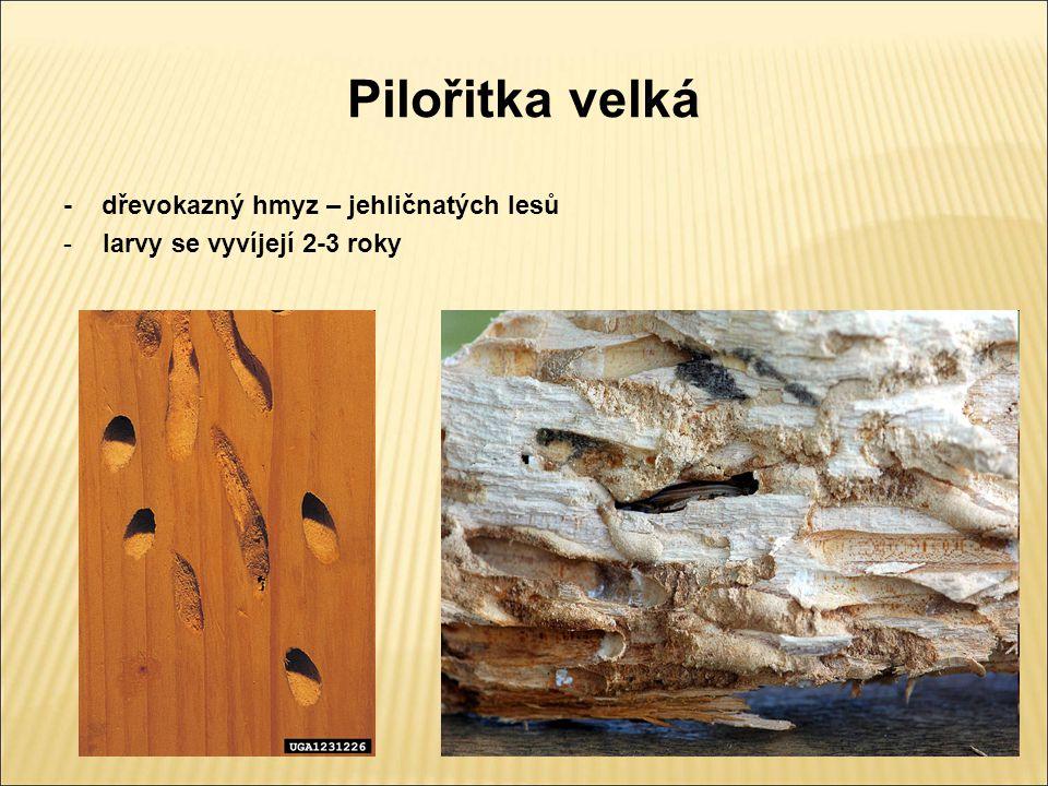 Pilořitka velká - dřevokazný hmyz – jehličnatých lesů -larvy se vyvíjejí 2-3 roky