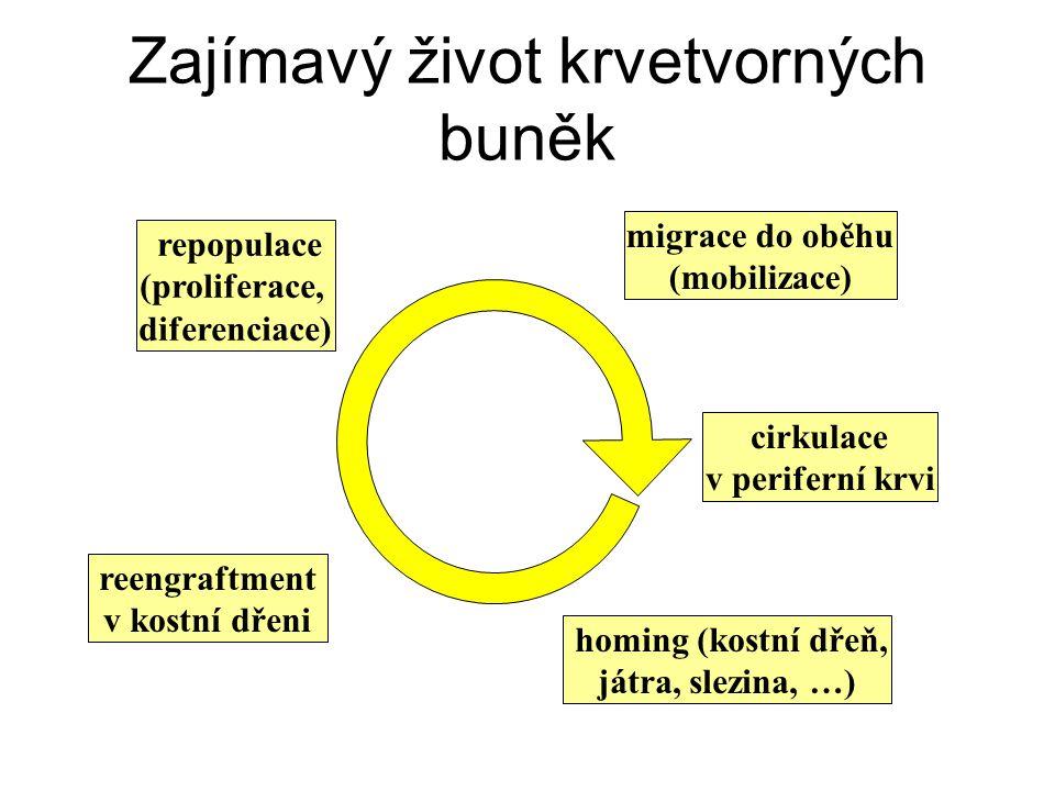 Zajímavý život krvetvorných buněk migrace do oběhu (mobilizace) cirkulace v periferní krvi homing (kostní dřeň, játra, slezina, …) reengraftment v kos