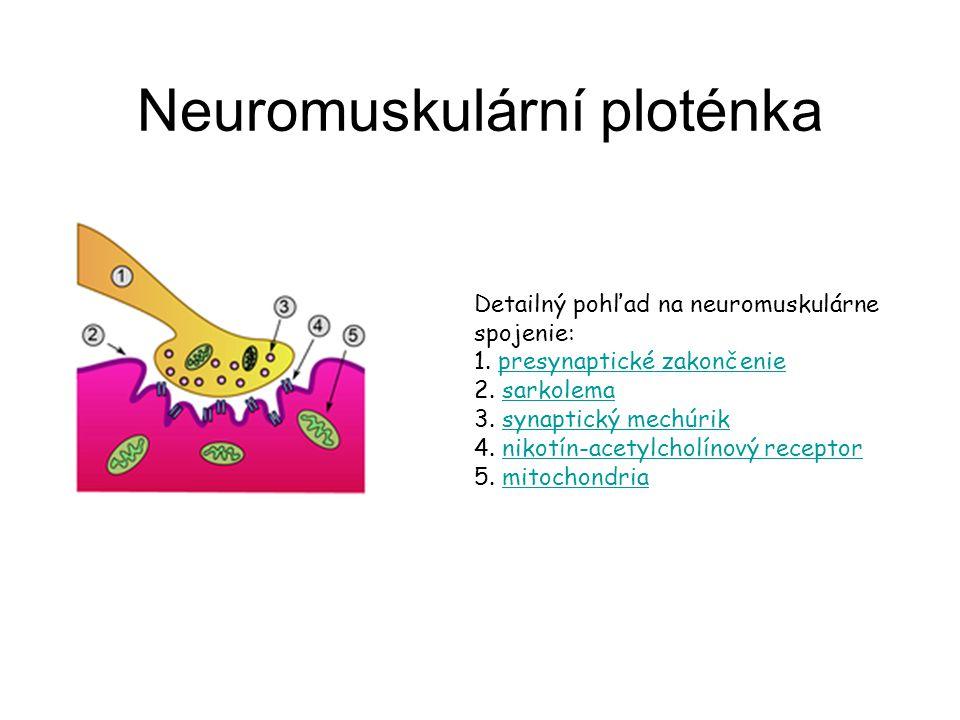 Neuromuskulární ploténka Detailný pohľad na neuromuskulárne spojenie: 1. presynaptické zakončenie 2. sarkolema 3. synaptický mechúrik 4. nikotín-acety