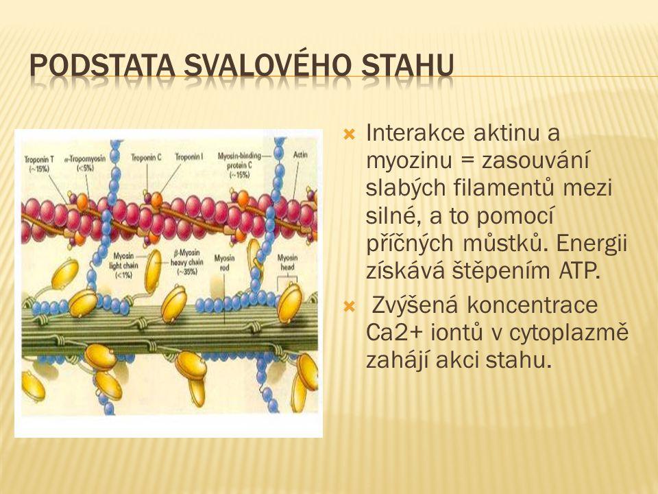  Interakce aktinu a myozinu = zasouvání slabých filamentů mezi silné, a to pomocí příčných můstků.