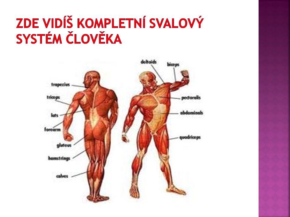  Jsou především v obličejové části hlavy  Dělíme je na svaly:  1.