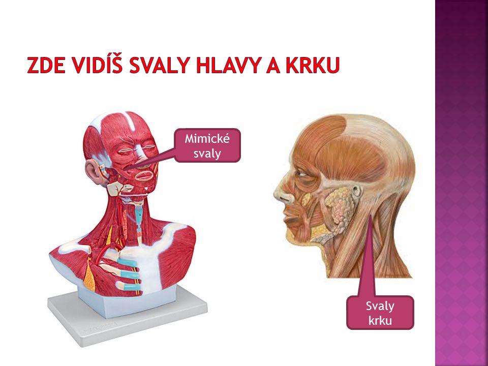 Mimické svaly Svaly krku