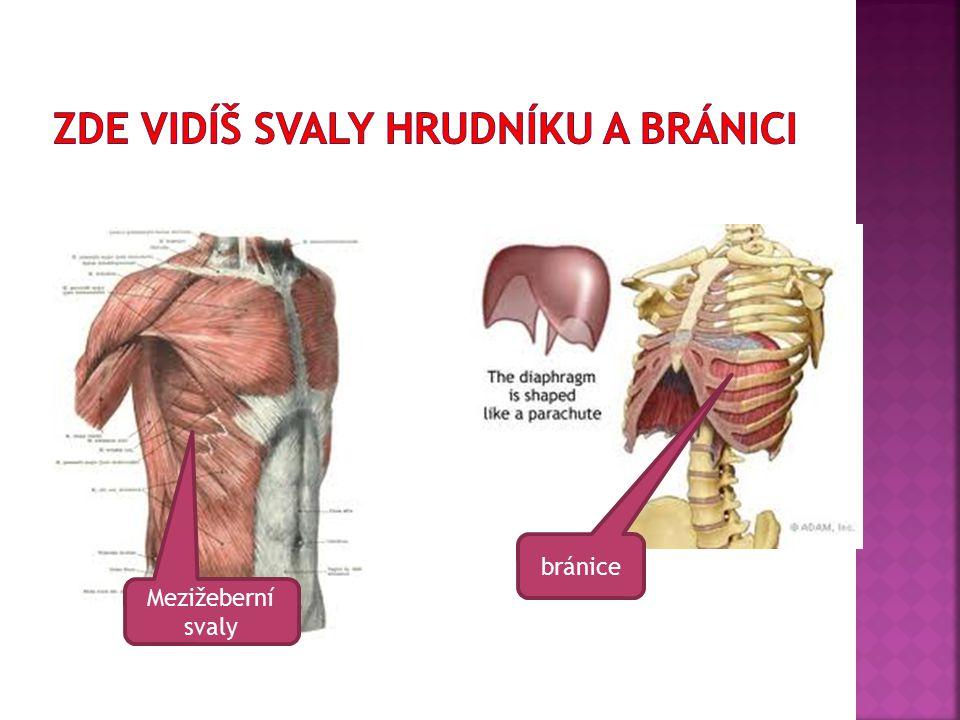 Mezižeberní svaly bránice