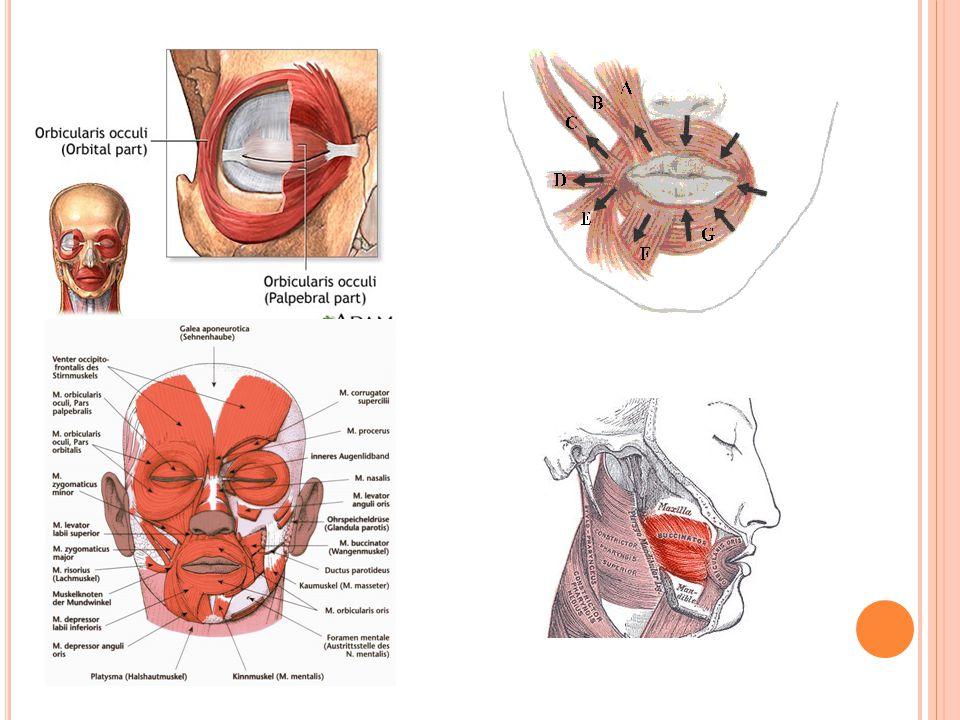 S VALY KRKU – MM.COLLI Dělení po vrstvách: 1. m. platysma – kožní sval 2.