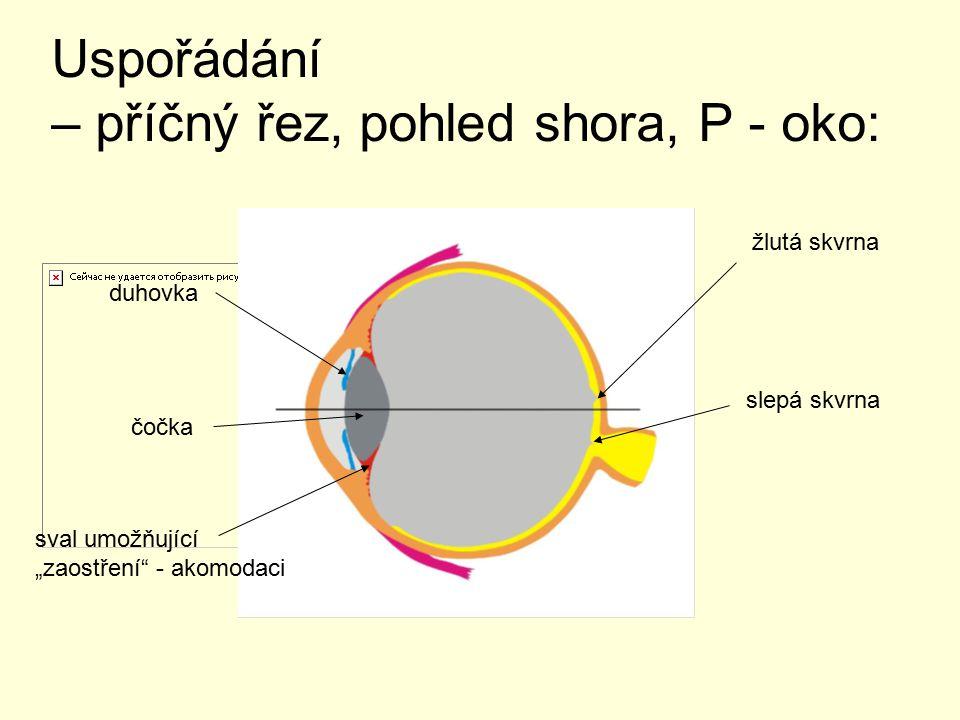 """Uspořádání – příčný řez, pohled shora, P - oko: duhovka čočka sval umožňující """"zaostření - akomodaci žlutá skvrna slepá skvrna"""