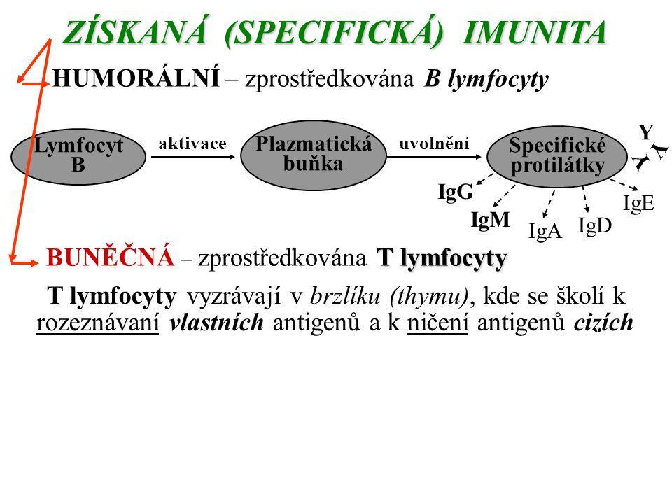 ZÍSKANÁ (SPECIFICKÁ) IMUNITA HUMORÁLNÍ – zprostředkována B lymfocyty aktivaceuvolnění Y Y Y Lymfocyt B Plazmatická buňka Specifické protilátky IgE IgD