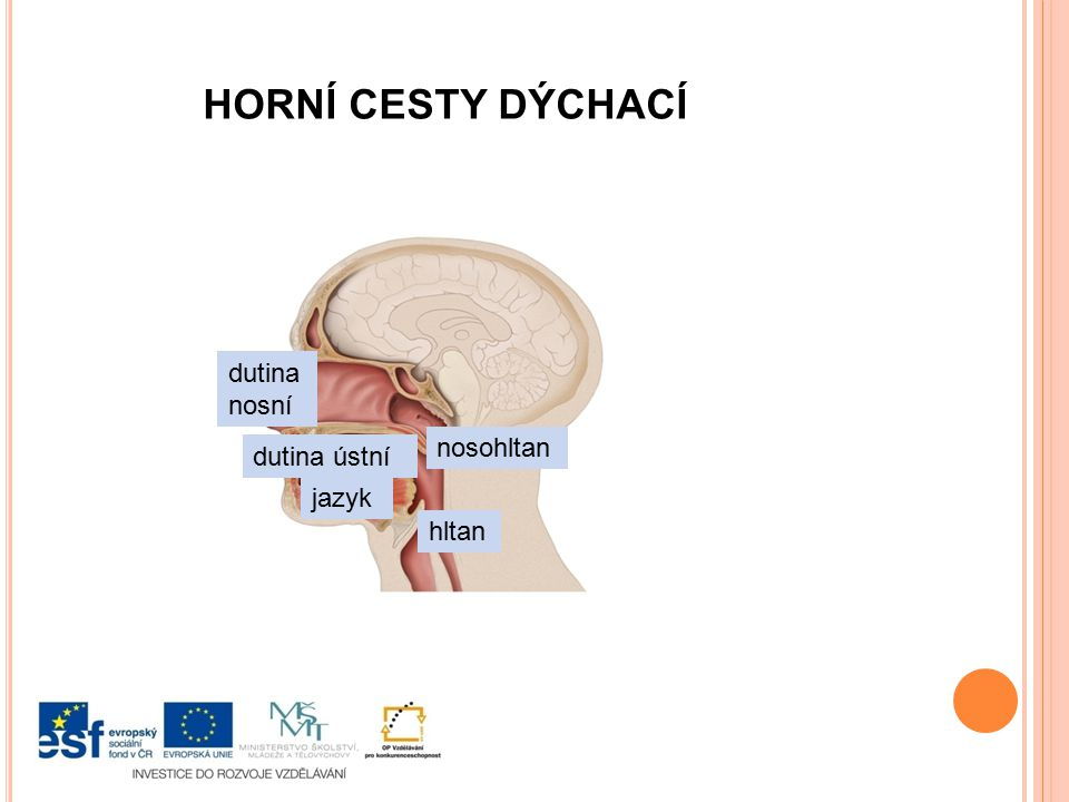 dutina nosní dutina ústní jazyk nosohltan hltan HORNÍ CESTY DÝCHACÍ