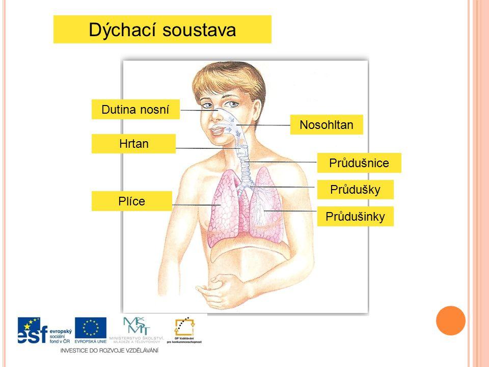 Dýchání Vzduch přijímáme do těla nosem nebo ústy.