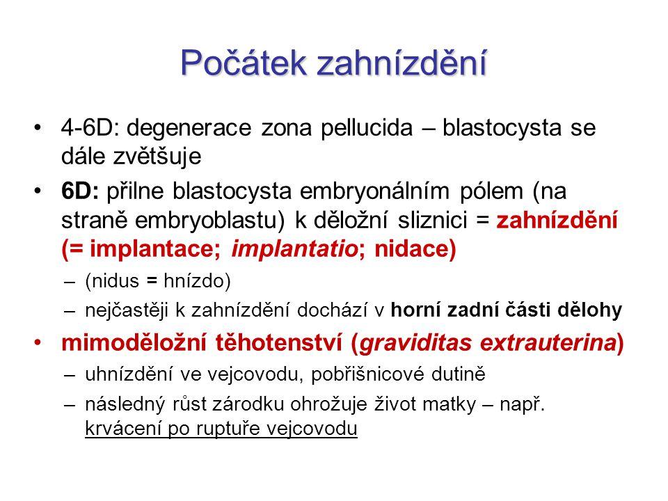 Počátek zahnízdění 4-6D: degenerace zona pellucida – blastocysta se dále zvětšuje 6D: přilne blastocysta embryonálním pólem (na straně embryoblastu) k