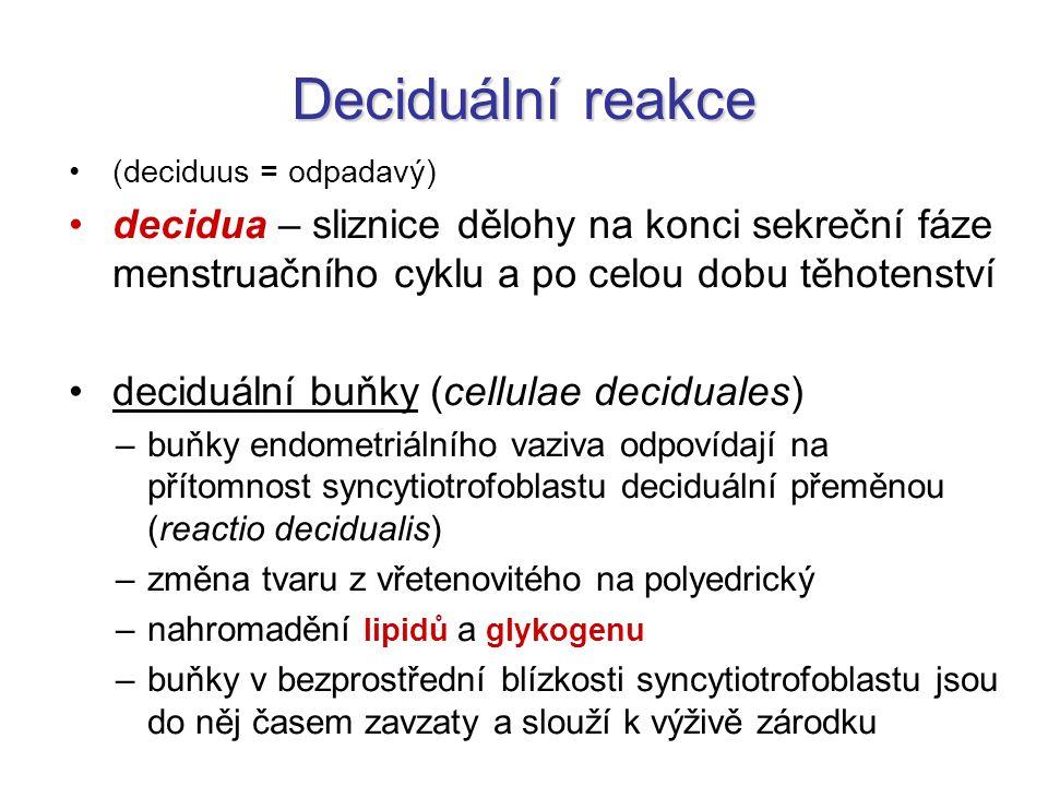 Deciduální reakce (deciduus = odpadavý) decidua – sliznice dělohy na konci sekreční fáze menstruačního cyklu a po celou dobu těhotenství deciduální bu