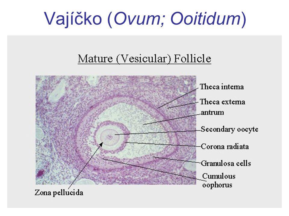 Membranae fetales definitivae = Plodové obaly 8T: růstem zárodku v amniovém vaku zaniká choriová dutina  amniochorion uvnitř amniový epitel, vně choriové klky další růst:  zánik děložní dutiny + srůst decidua capsularis et parietalis další růst:  amniochorion sroste s deciduou  plodový vak