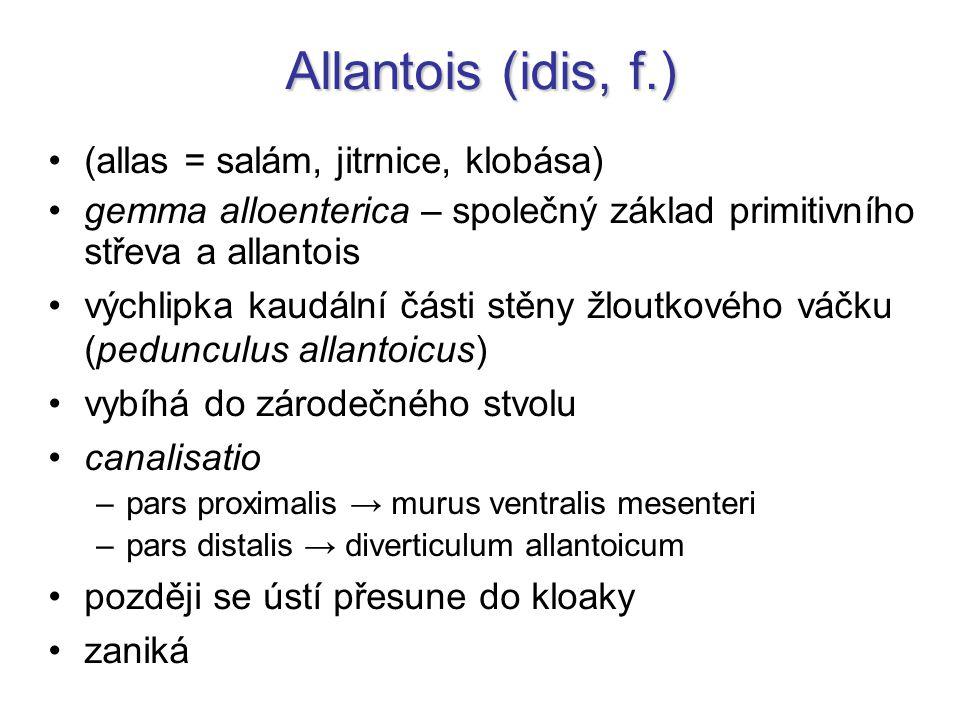 Allantois (idis, f.) (allas = salám, jitrnice, klobása) gemma alloenterica – společný základ primitivního střeva a allantois výchlipka kaudální části