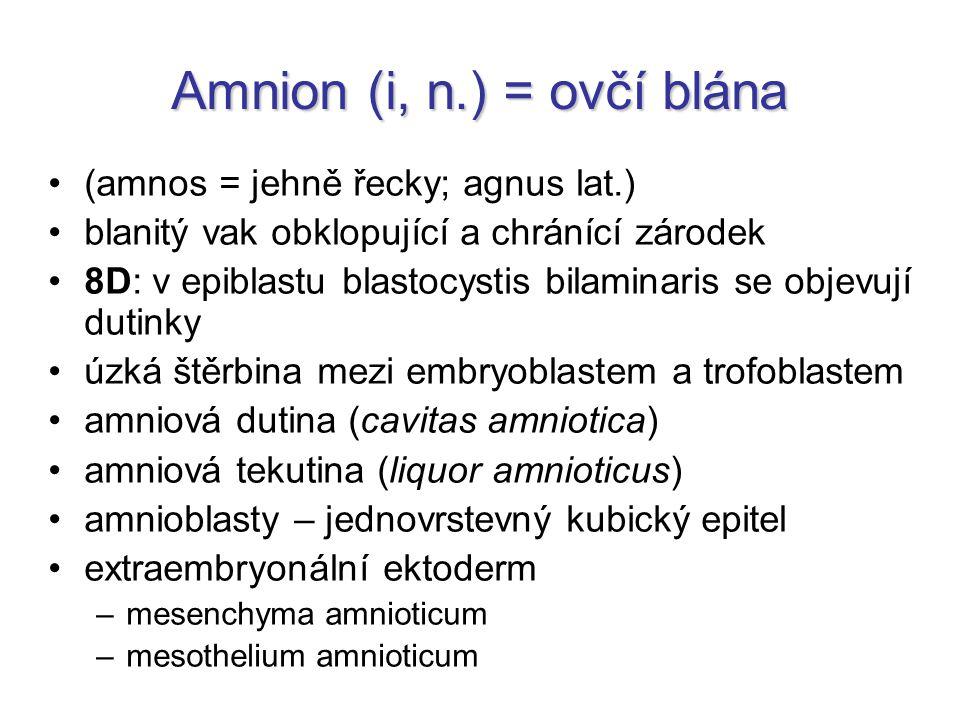 Amnion (i, n.) = ovčí blána (amnos = jehně řecky; agnus lat.) blanitý vak obklopující a chránící zárodek 8D: v epiblastu blastocystis bilaminaris se o