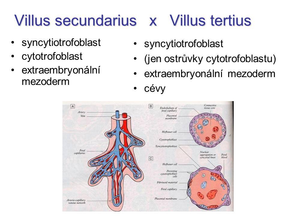 Villus secundarius x Villus tertius syncytiotrofoblast cytotrofoblast extraembryonální mezoderm syncytiotrofoblast (jen ostrůvky cytotrofoblastu) extr