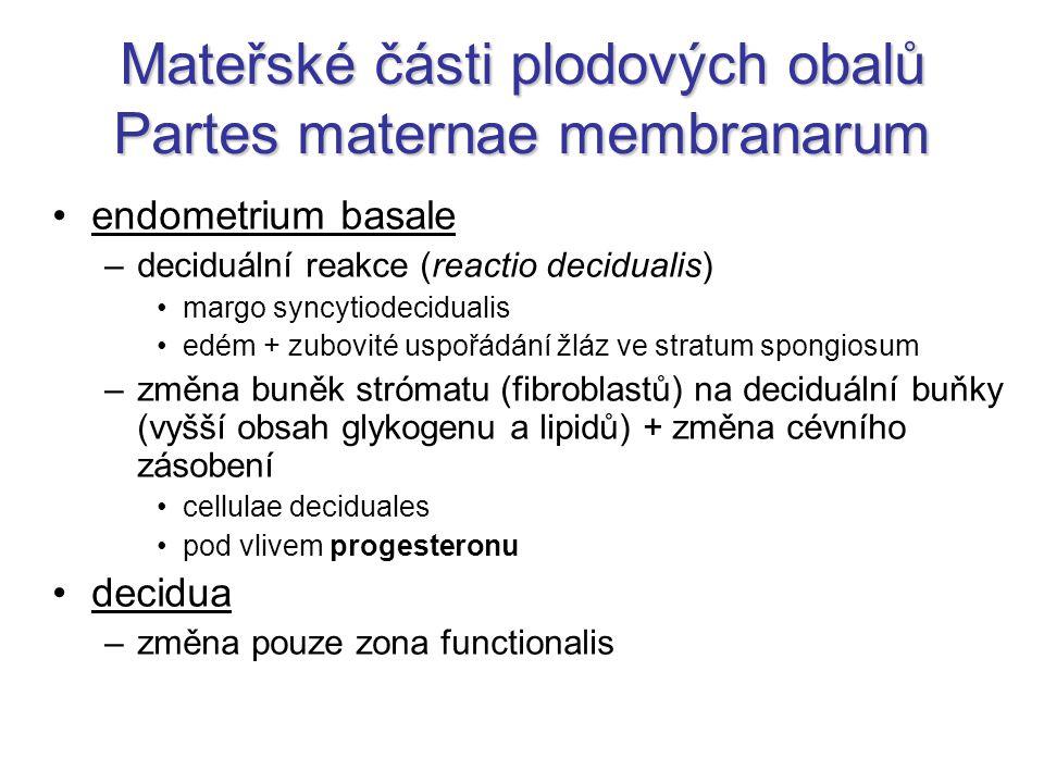 Mateřské části plodových obalů Partes maternae membranarum endometrium basale –deciduální reakce (reactio decidualis) margo syncytiodecidualis edém +