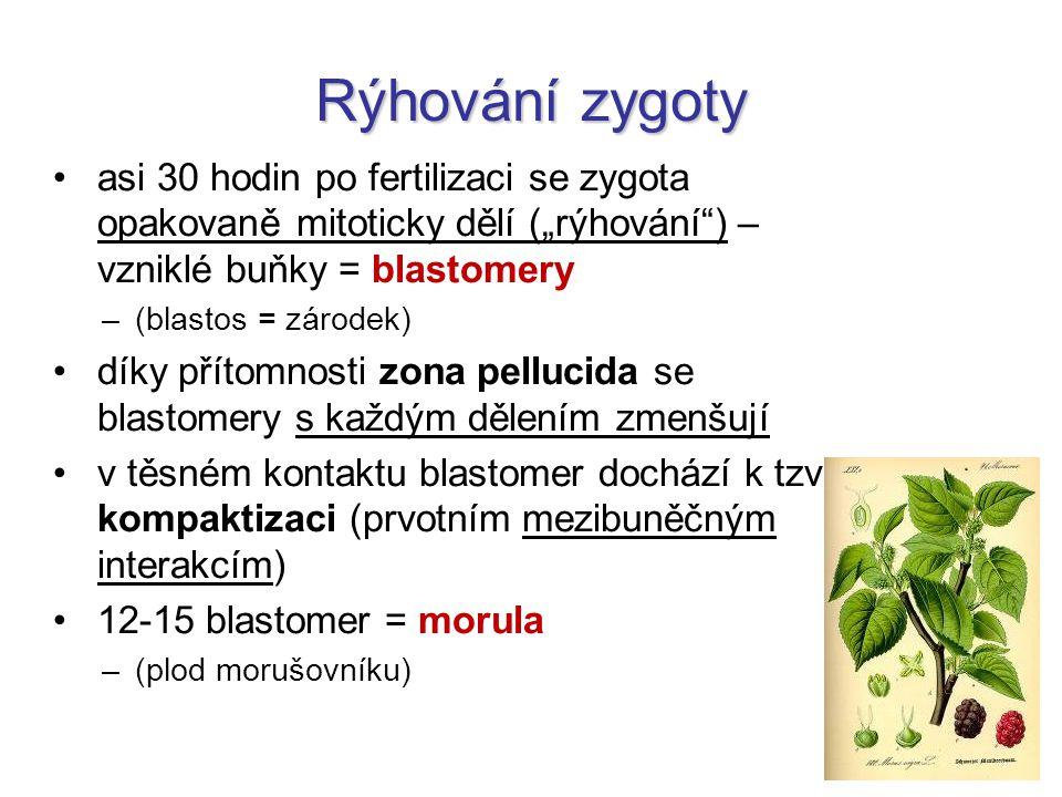 """Rýhování zygoty asi 30 hodin po fertilizaci se zygota opakovaně mitoticky dělí (""""rýhování"""") – vzniklé buňky = blastomery –(blastos = zárodek) díky pří"""