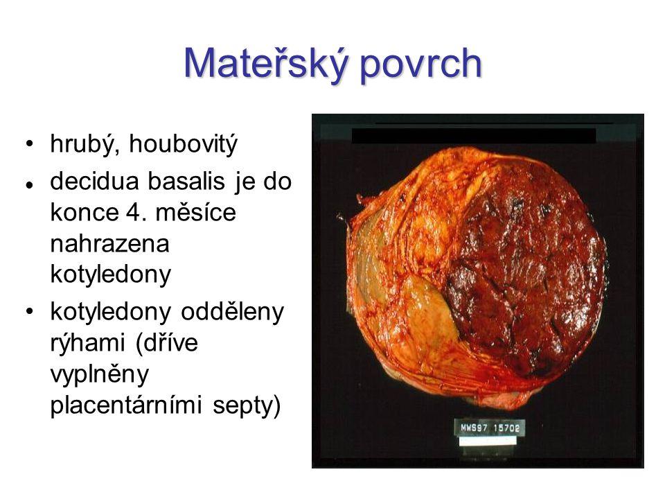 Mateřský povrch hrubý, houbovitý decidua basalis je do konce 4. měsíce nahrazena kotyledony kotyledony odděleny rýhami (dříve vyplněny placentárními s