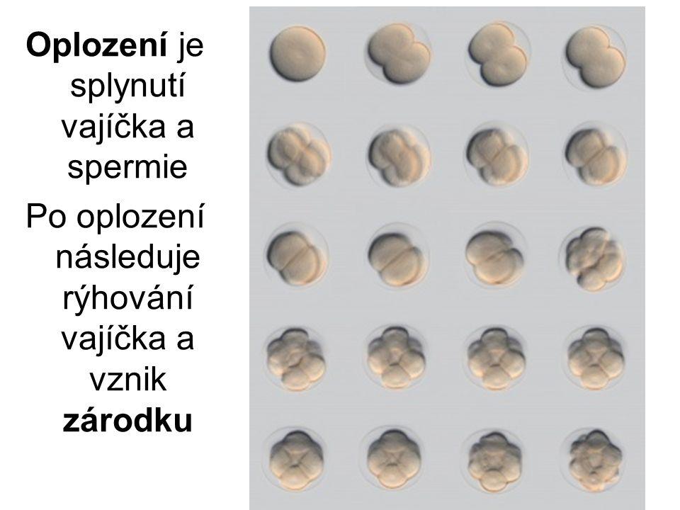 Oplození je splynutí vajíčka a spermie Po oplození následuje rýhování vajíčka a vznik zárodku