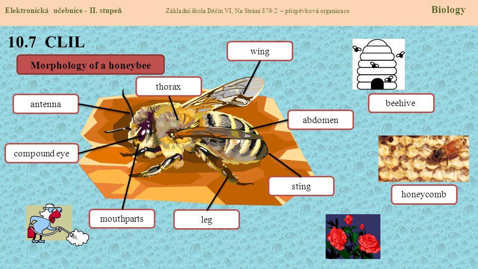 10.7 CLIL Elektronická učebnice - II. stupeň Základní škola Děčín VI, Na Stráni 879/2 – příspěvková organizace Biology Morphology of a honeybee leg an