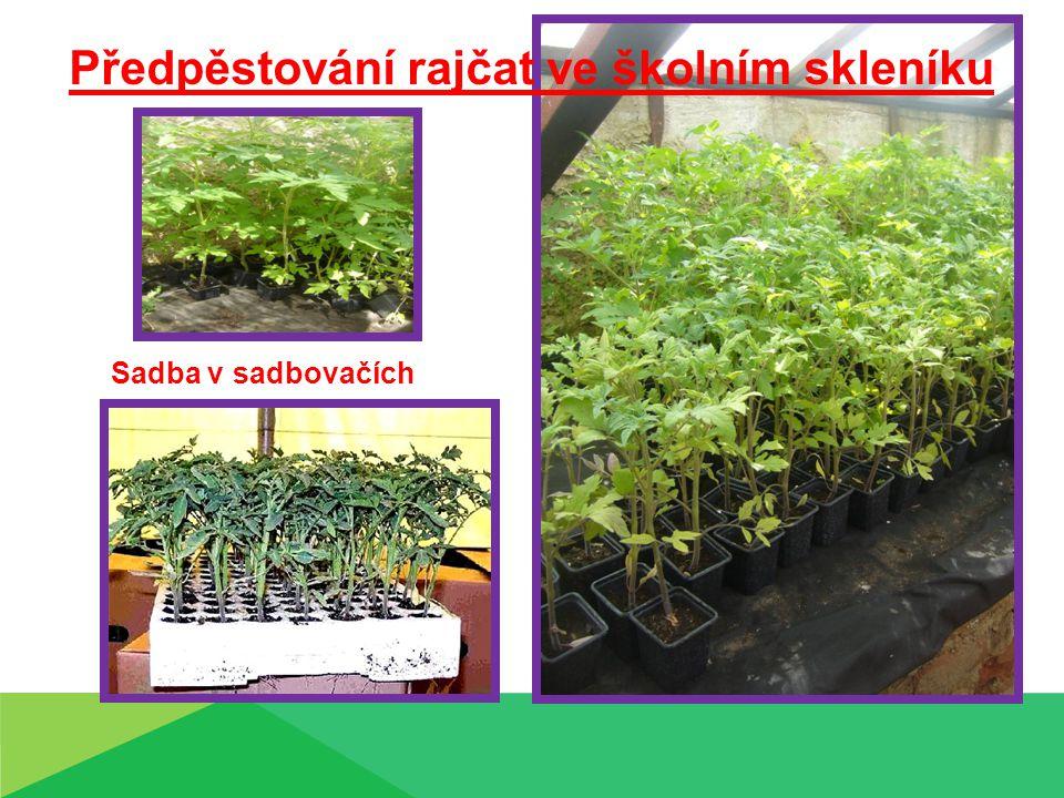 Předpěstování rajčat ve školním skleníku Sadba v sadbovačích