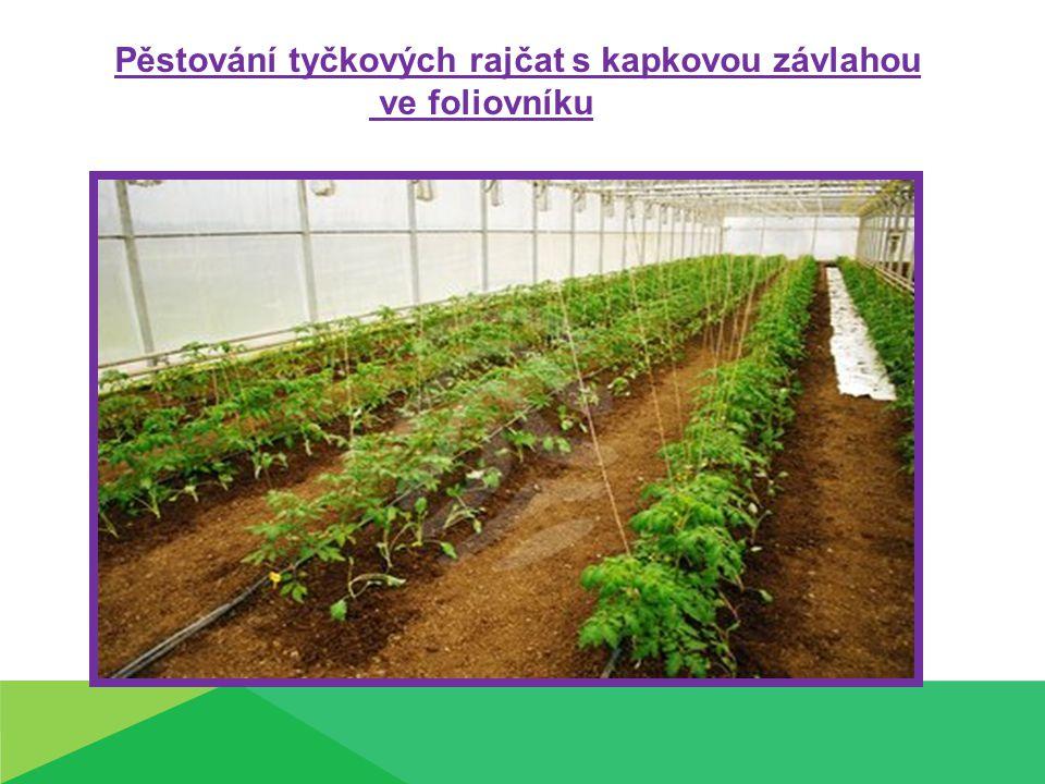 Pěstování tyčkových rajčat s kapkovou závlahou ve foliovníku