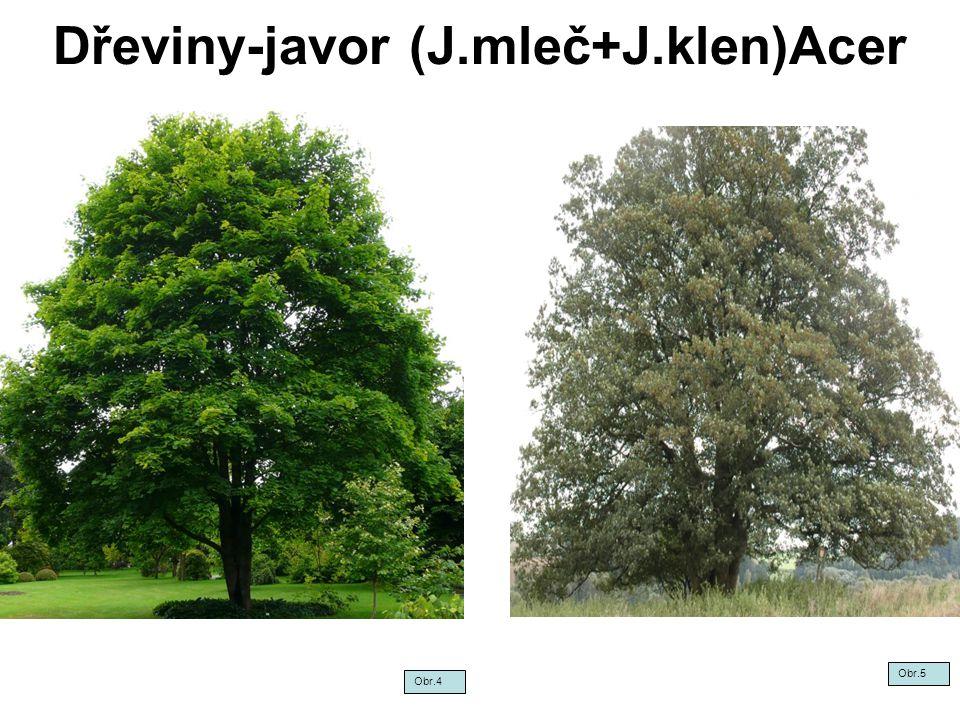 Dřeviny-javor (J.mleč+J.klen)Acer Obr.4 Obr.5