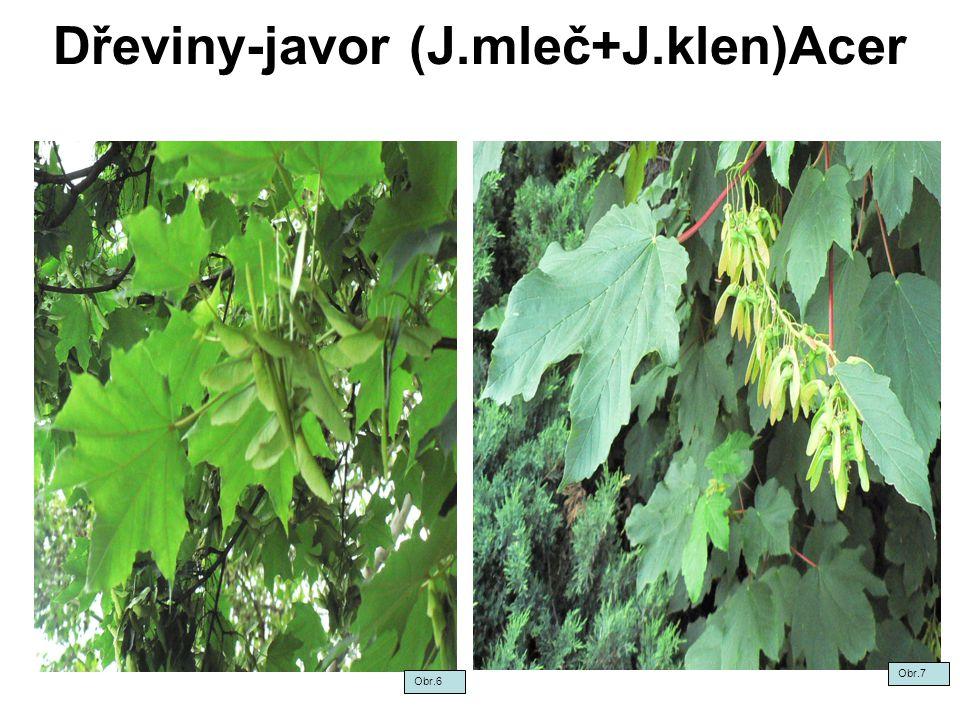 Dřeviny-javor (J.mleč+J.klen)Acer Obr.6 Obr.7