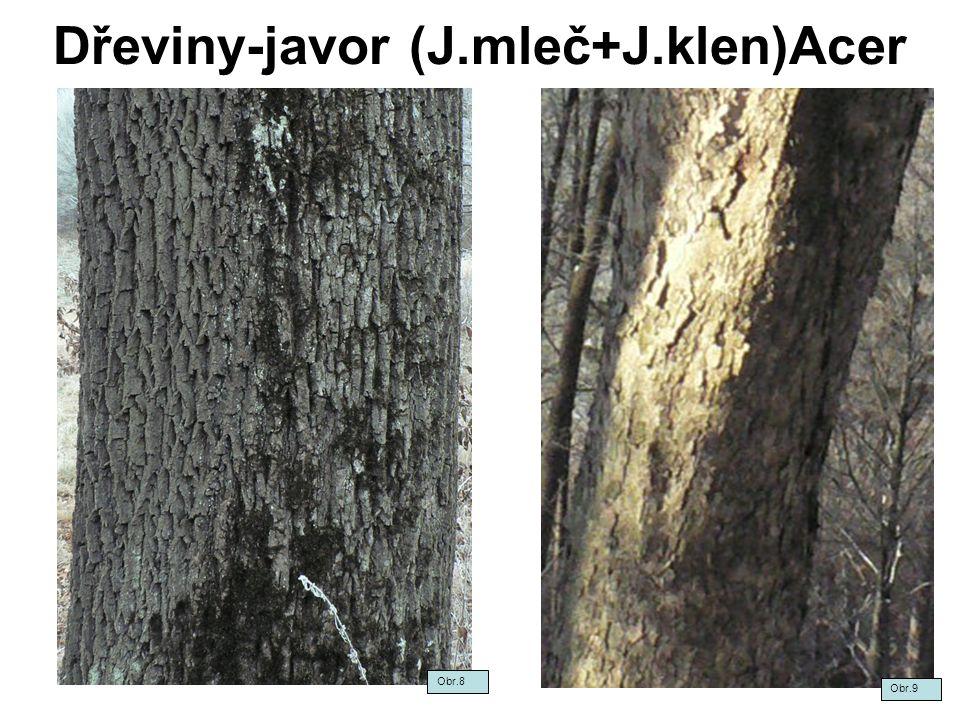 Dřeviny-javor (J.mleč+J.klen)Acer Obr.8 Obr.9