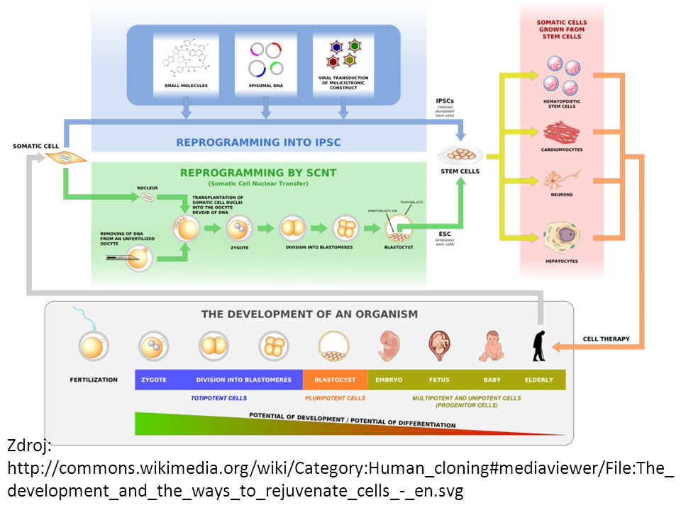Zdroj: http://commons.wikimedia.org/wiki/Category:Human_cloning#mediaviewer/File:The_ development_and_the_ways_to_rejuvenate_cells_-_en.svg