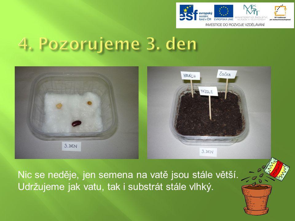 Nic se neděje, jen semena na vatě jsou stále větší. Udržujeme jak vatu, tak i substrát stále vlhký.