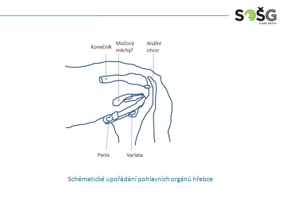 Konečník Močový měchýř Anální otvor PenisVarlata Schématické upořádání pohlavních orgánů hřebce