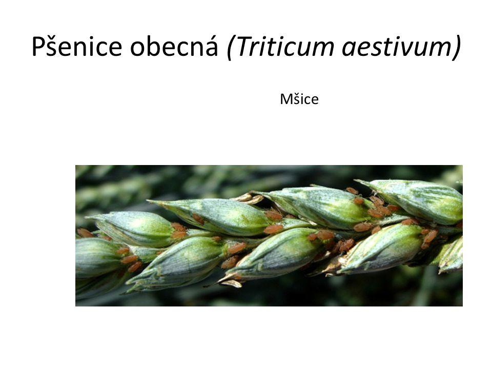 Pšenice obecná (Triticum aestivum) Mšice