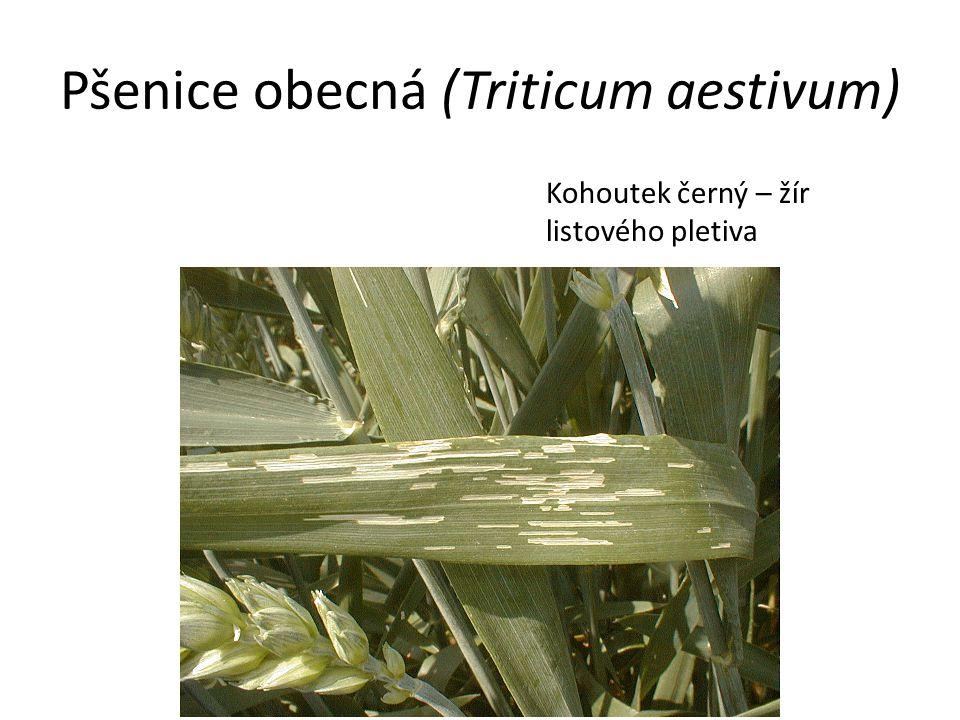 Pšenice obecná (Triticum aestivum) Kohoutek černý – žír listového pletiva