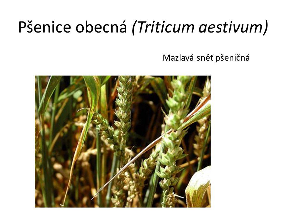 Pšenice obecná (Triticum aestivum) Mazlavá sněť pšeničná