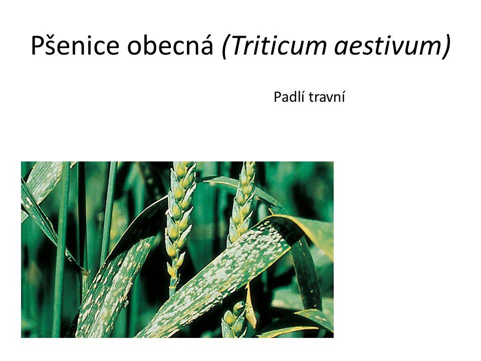 Pšenice obecná (Triticum aestivum) Padlí travní
