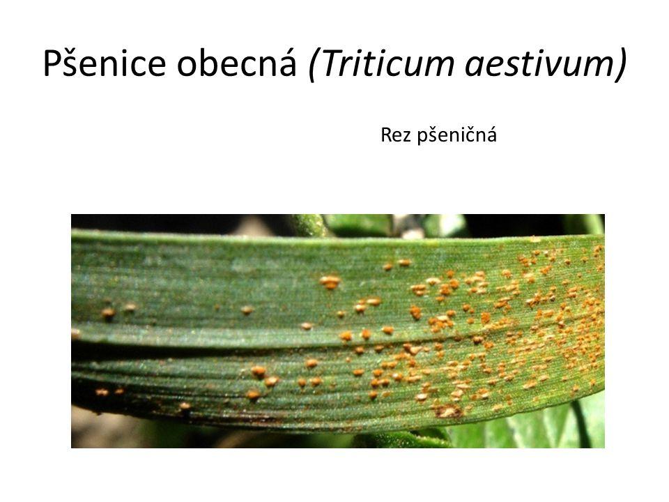Pšenice obecná (Triticum aestivum) Rez pšeničná